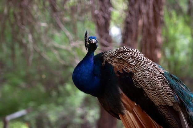 Close-up van de schattige pauw (grote en heldere vogel) op een groene achtergrond