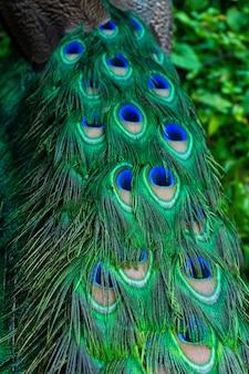 Close-up van de staart van een pauw. veren op de staart van een pauw. kleuren van de natuur