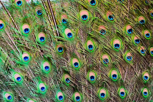 Close-up van de staart van een pauw