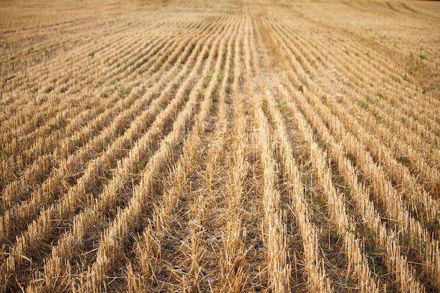 Close-up van de stoppels van een gemaaid tarweveld van tarwe, rijen oren op een gemaaid veld
