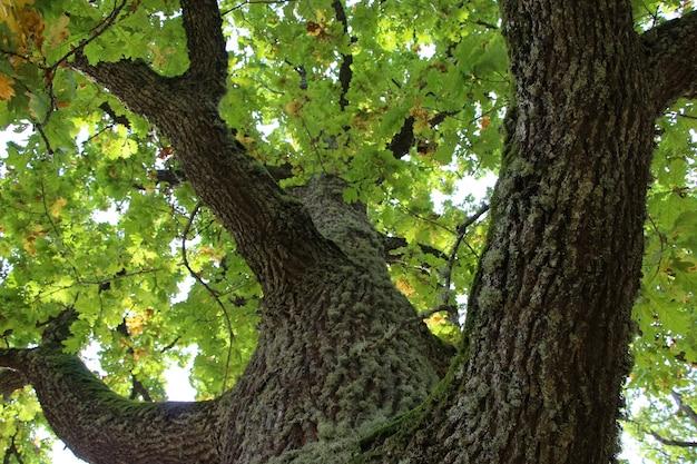 Close-up van de takken en kroon van oude eik uitzicht vanaf de onderkant van de boomwortels