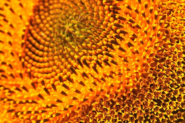 Close-up van de zomer gele zonnebloem. agrarische natuurlijke achtergrond, textuur en behang