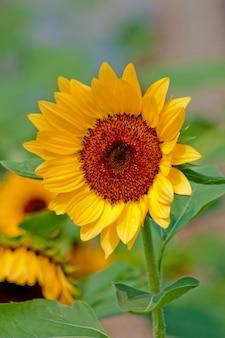 Close-up van de zonnebloem met stengel