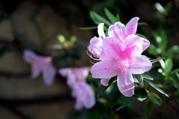 Close-up van doorschijnende rododendron in tegenlicht