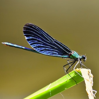 Close-up van dragonfly calopteryx virgo