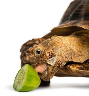 Close-up van een afrikaanse aangespoorde schildpad die een beetje komkommer eet, geochelone sulcata, geïsoleerd op wit