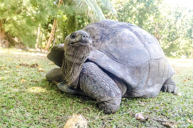 Close-up van een aldabra-reuzenschildpad op het gazon dat door bomen onder zonlicht wordt omringd
