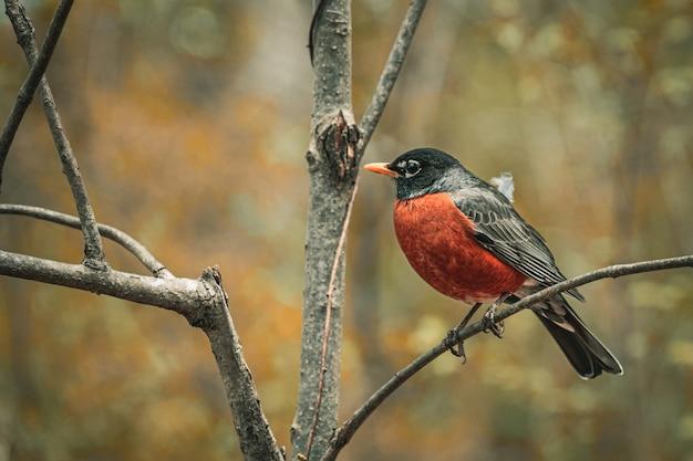 Close-up van een amerikaanse robin die op een boomtak in een veld zit