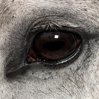 Close-up van een andalusisch oog, 7 jaar oud, ook bekend als het pure spanish horse of pre