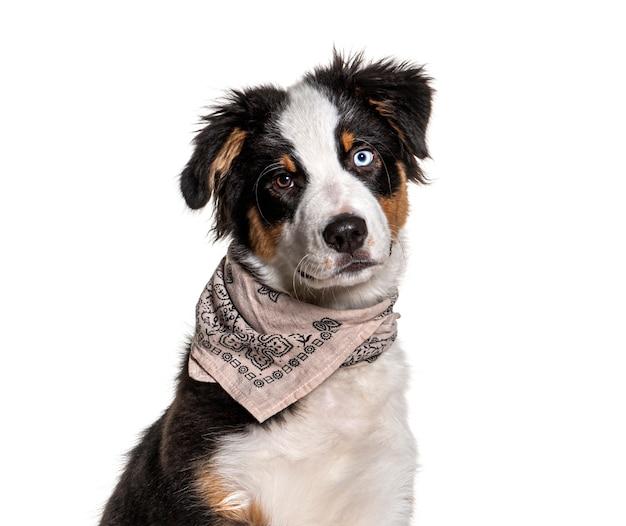 Close-up van een australische herder met vreemde ogen die een hond met sjaal draagt scarf