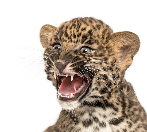 Close-up van een bevlekt luipaardwelp gebrul