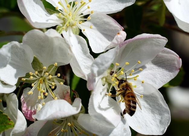 Close-up van een bij die nectar van een witte bloem van de kersenbloesem op een zonnige dag verzamelt
