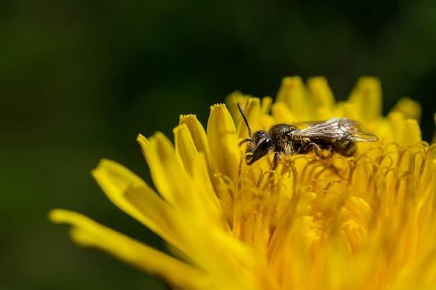 Close-up van een bij die op de tot bloei gekomen gele bloem in het wild bestuift