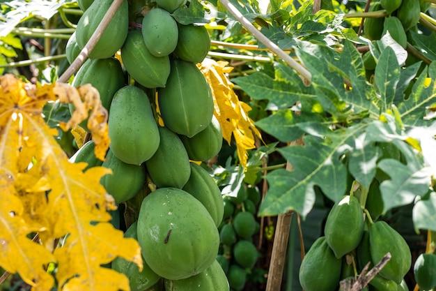 Close-up van een biologische papajaboom met rauwe papaja's in een landbouwbedrijf