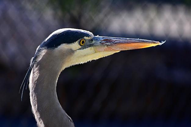 Close-up van een blauwe reiger met een lange snavel onder zonlicht