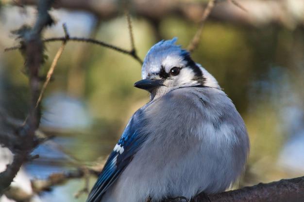 Close-up van een blauwe vlaamse gaai die op een boomtak wordt neergestreken onder het zonlicht