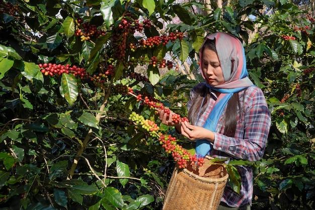 Close-up van een boeren verzamelen verse koffiebonen van arabica-bomen die op het hoogland in het mae wang-district, in de provincie chiang mai, worden geteeld.
