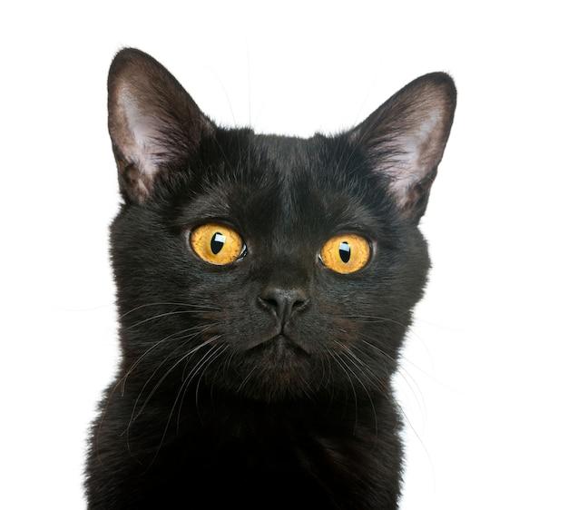 Close-up van een bombay-katje dat op wit wordt geïsoleerd