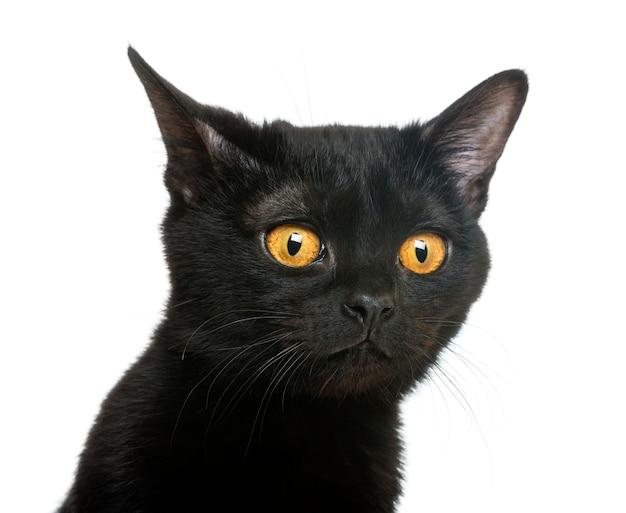 Close-up van een bombay-katje die weg kijken die op wit wordt geïsoleerd