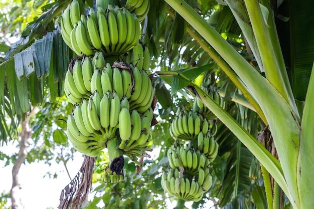 Close-up van een bos verse groene bananen aan de boom in de tuin