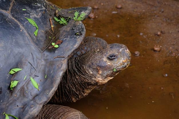 Close-up van een brekende schildpad die naar de camera in het water kijkt