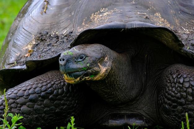 Close-up van een brekende schildpad op een grasrijk gebied