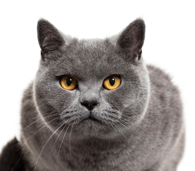 Close-up van een britse korthaar cat