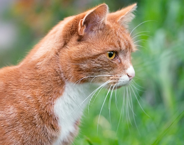 Close-up van een buitensporige kat in een tuin in farum, denemarken tegen een onscherpe achtergrond