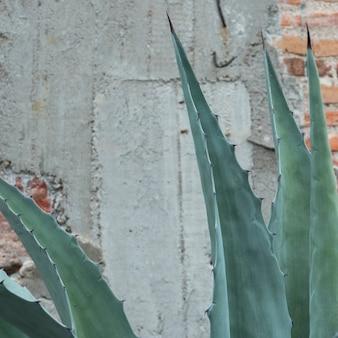 Close-up van een cactusplant door een muur, santa cecilia, san miguel de allende, guanajuato, mexico