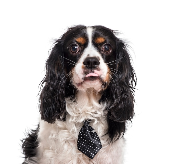 Close-up van een cavalier king charles dog