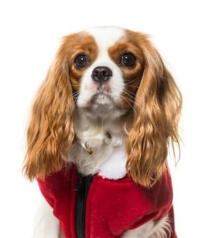 Close-up van een cavalier king charles spaniel dog met een rode hondenjas