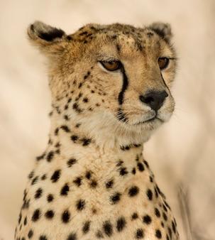 Close-up van een cheetah, serengeti, tanzania