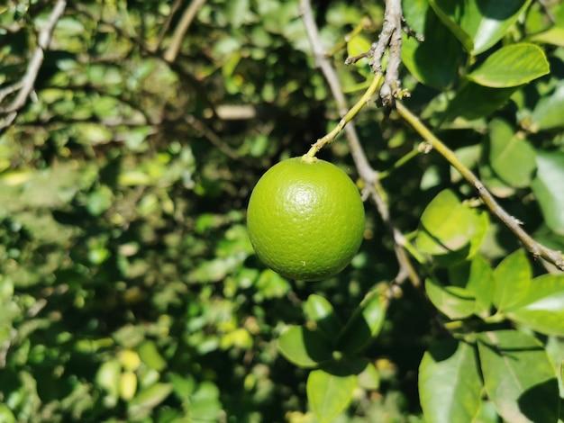 Close-up van een citroen die aan de boom hangt.