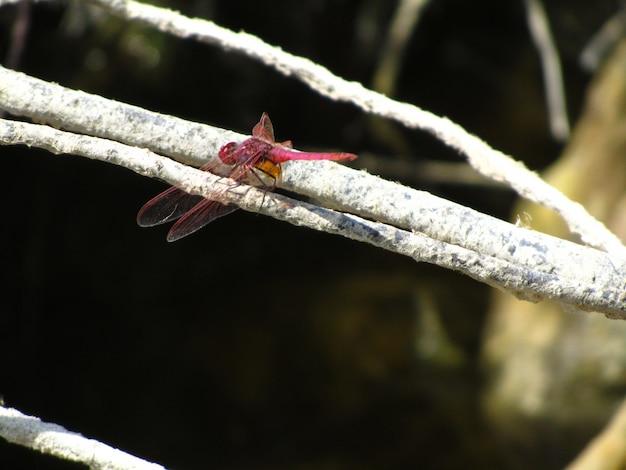 Close-up van een dieprode libel op een boomtak onder het zonlicht