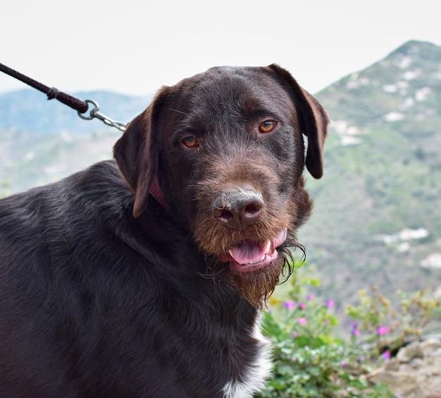 Close-up van een donkere hond aangelijnd met een open mond buitenshuis