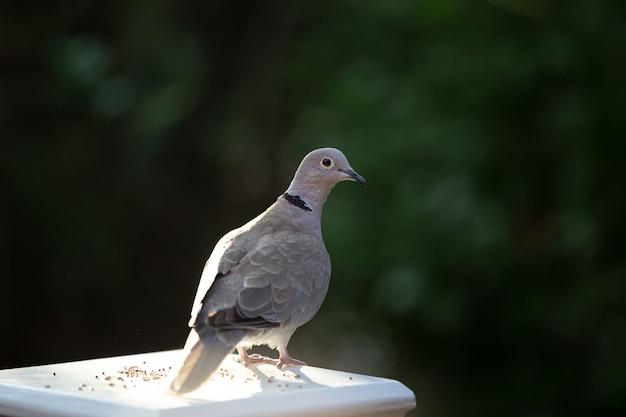 Close-up van een duif die op een witte pilaar staat