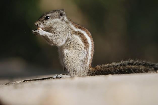 Close-up van een eekhoorn die een koekje eet op een betonnen ondergrond