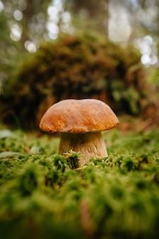 Close-up van een eetbare bospaddestoel tegen een achtergrond van groen bos en mos