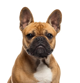 Close-up van een engelse bulldog voor een witte muur