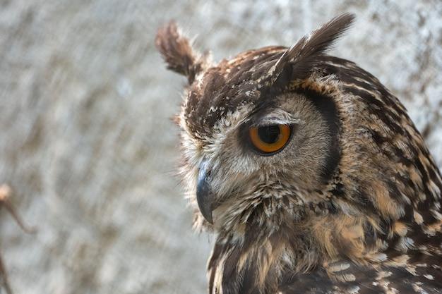 Close-up van een euraziatische oehoe in de onscherpe achtergrond
