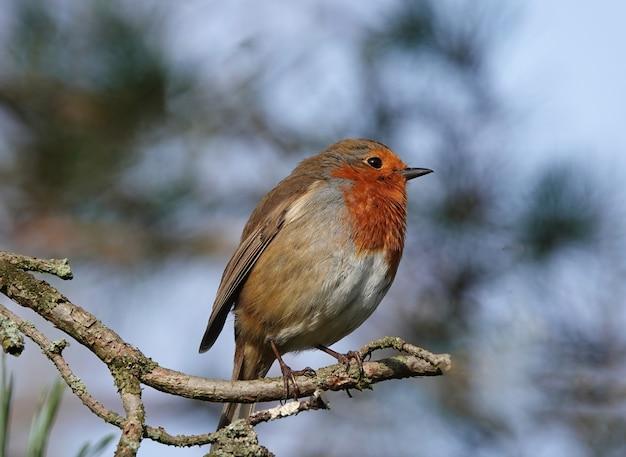 Close-up van een europese robin-vogel die op een dunne tak staat met een wazige achtergrond