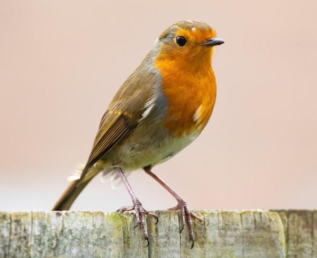 Close-up van een europese robin-vogel met heldere gele bre