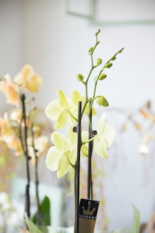 Close-up van een exotische orchideebloem met knoppen
