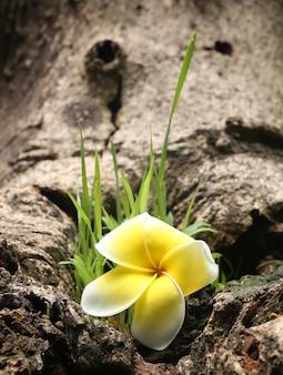 Close up van een frangipani in de natuur