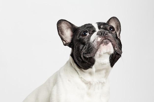 Close up van een franse bulldog opzoeken op een witte achtergrond