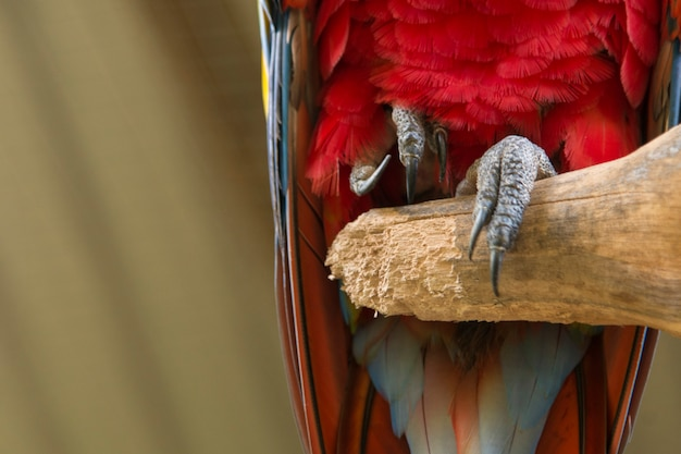 Close-up van een geelvleugelara (ara macao), macaw mountain bird park, copan, copan ruinas, copan departm