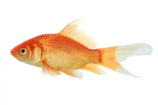 Close-up van een geïsoleerde goudvis