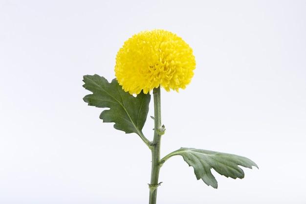 Close-up van een gele chrysant die op een witte muur wordt geïsoleerd