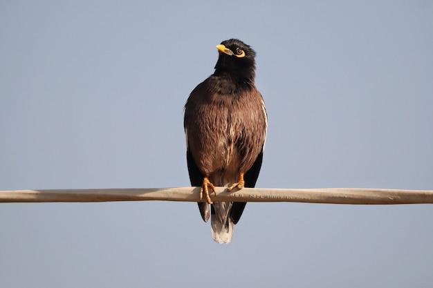 Close-up van een gemeenschappelijke myna-vogel neergestreken op een paal die op blauwe achtergrond wordt geïsoleerd