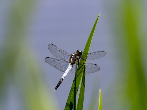 Close-up van een gemeenschappelijke whitetail op het gras